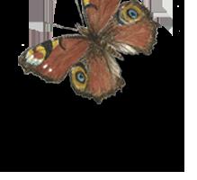 sommerfugl2.png